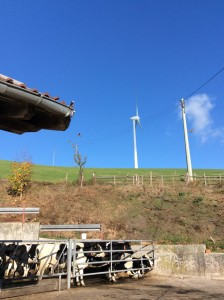 Windmills over cows